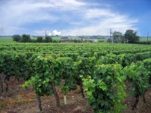 Vignoble dans la Loire